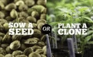 using seed vs planting a clone